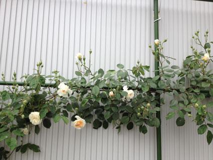 2014-0513-rose2