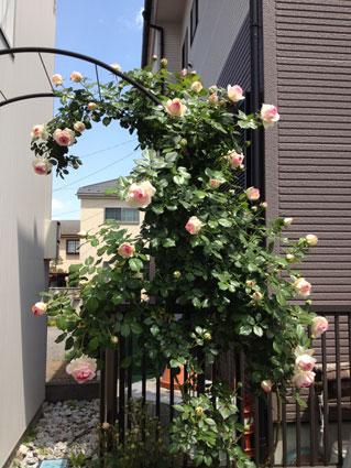 2014-0516-rose