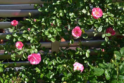 2014-0517-rose1