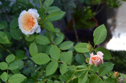 2014-0517-rose2