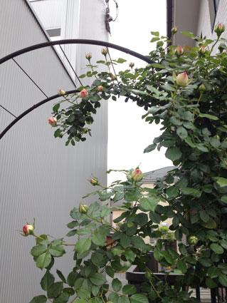 2913-0513-rose1
