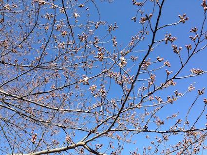 2016-0325-sakura